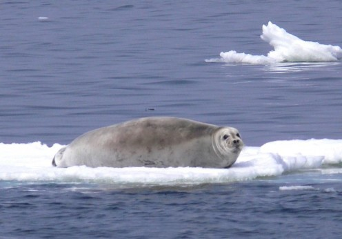 Bearded_seal_laying_on_ice