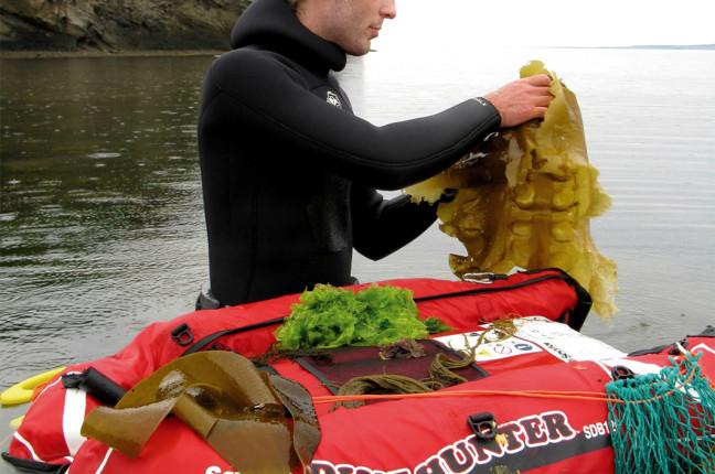 culture algues comestibles