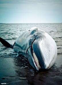p.25 baleine
